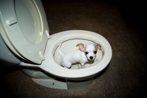 This is one way to deal with the excessive urination experienced by Cushing's patients. I just thought this was cute, please don't actually do this. I'm sure the puppy was quickly removed from the potty pre-flushing.